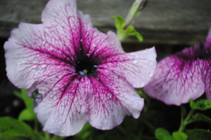 Geraniums Are Toxic to Dogs. I Didn't Know That!