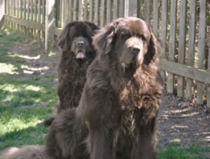 The Bigger The Newfoundland The Better? Why Bigger Is Not Always Better