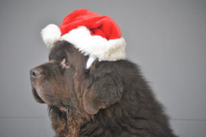 """""""Twas The Night Before Christmas And My Newfies Were Trashing The House"""