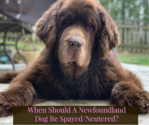 When Should A Newfoundland Dog Be Spayed Or Neutered