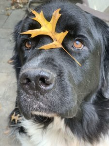 Challenges I Faced With My First Rescue Newfie