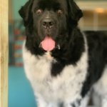 6 Tips On How To Get Your Large Dog On The Grooming Table