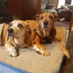 Two very old brown and grey senior dogs lying on a dog bed together.