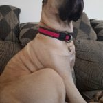 Large Fawn Presa Canario sitting on couch with a pink break away collar