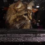 Orange cat sad looking from inside a car window while its raining out.