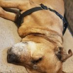 Old Senior Dog sleeping with her brown lift harness on.