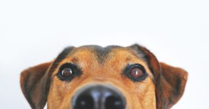 A cute black and brown dog looking at you for hope.